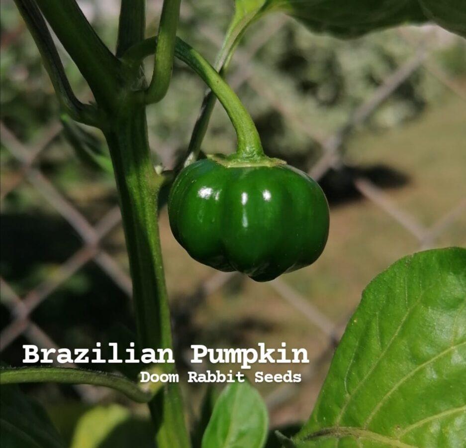 Brazilian Pumpkin