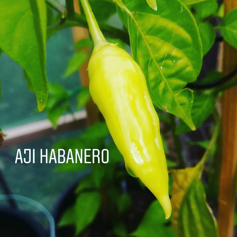 Aji Habanero