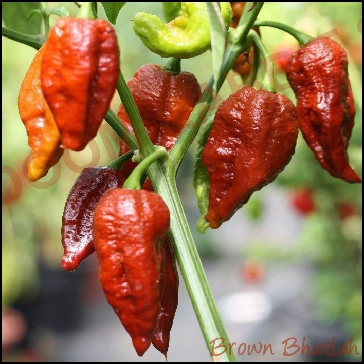 Brown Bhutlah