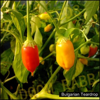 Bulgarian Teardrop