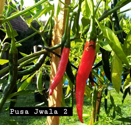 Pusa Jwala 2