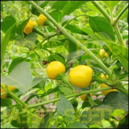 Gelbe Kirsche