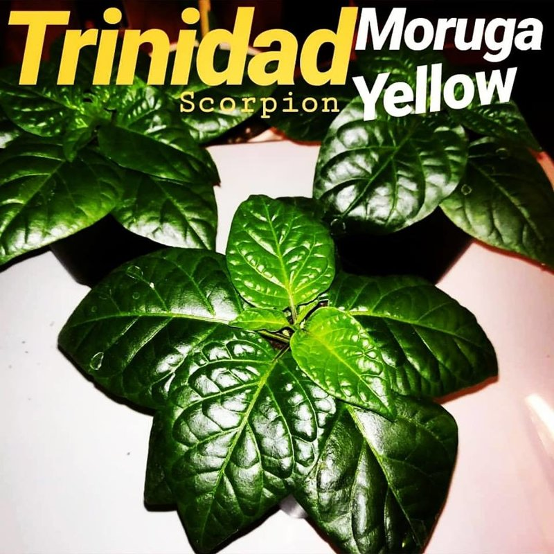 Wachstum Chilipflanze Trinidad Moruga Scorpion Gelb Doom Rabbit Seeds