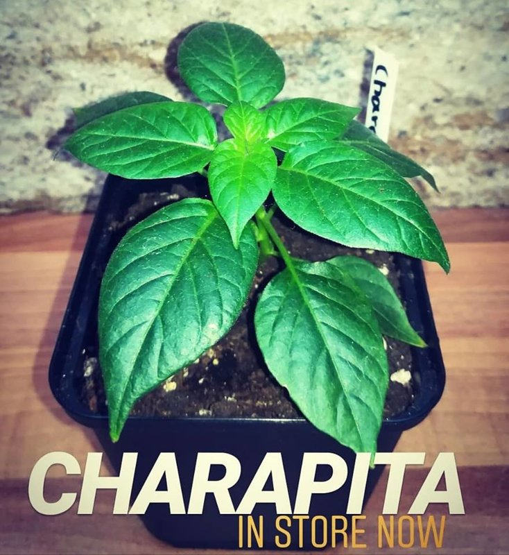 Aji Charapita - Saatgut - Chili Samen - Doom Rabbit Seeds - Capsicum chinensen