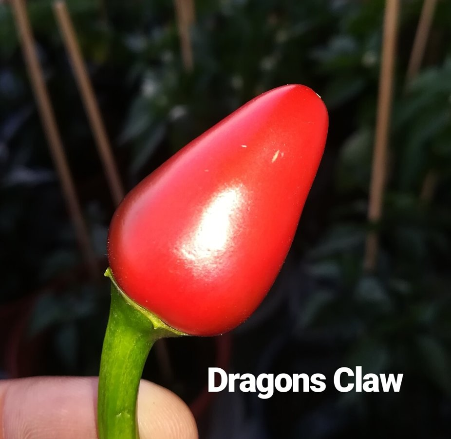 Dragon´s Claw Chili