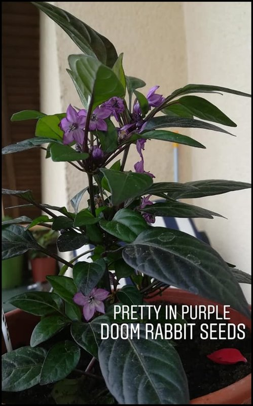 Pretty in Purple Chilipflanze - Capsicum Annuum - Doom Rabbit Seeds